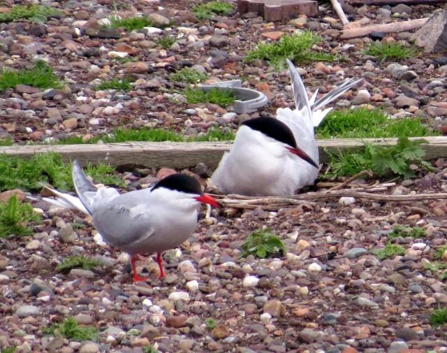 2 Common tern