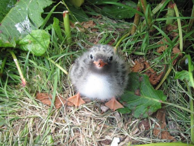 3 Common tern chick