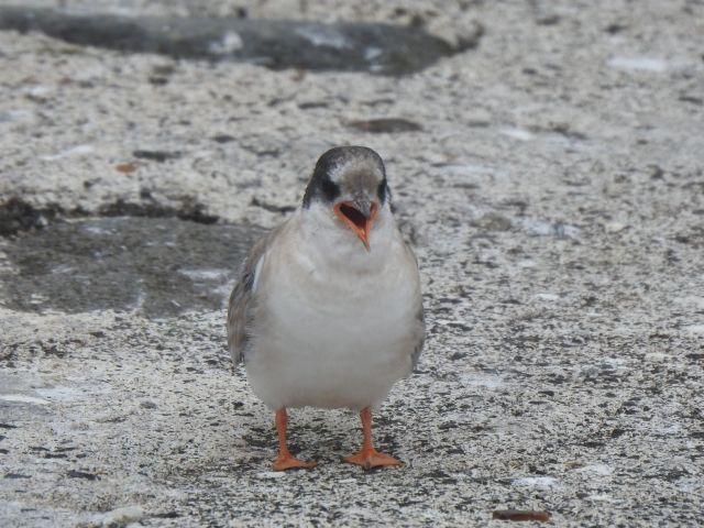 1a fledger